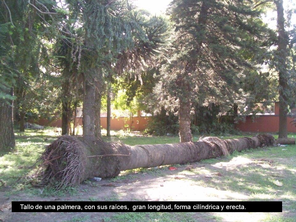 Tallo de una palmera, con sus raíces, gran longitud, forma cilíndrica y erecta.
