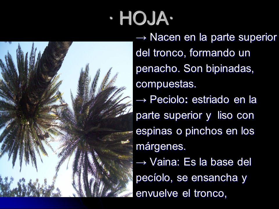 · HOJA· Nacen en la parte superior Nacen en la parte superior del tronco, formando un penacho. Son bipinadas, compuestas. Peciolo: estriado en la Peci