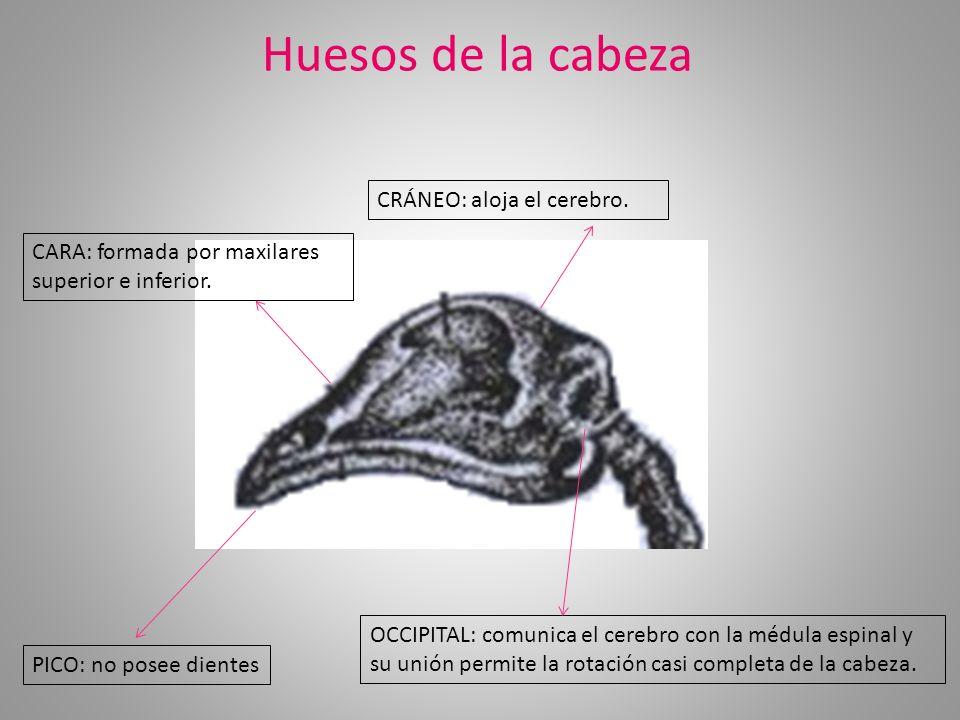 Huesos de la cabeza OCCIPITAL: comunica el cerebro con la médula espinal y su unión permite la rotación casi completa de la cabeza. CRÁNEO: aloja el c