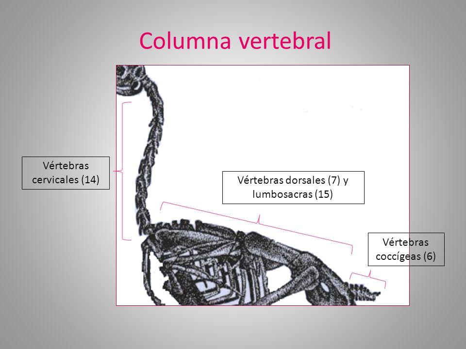 Columna vertebral Vértebras cervicales (14) Vértebras dorsales (7) y lumbosacras (15) Vértebras coccígeas (6)