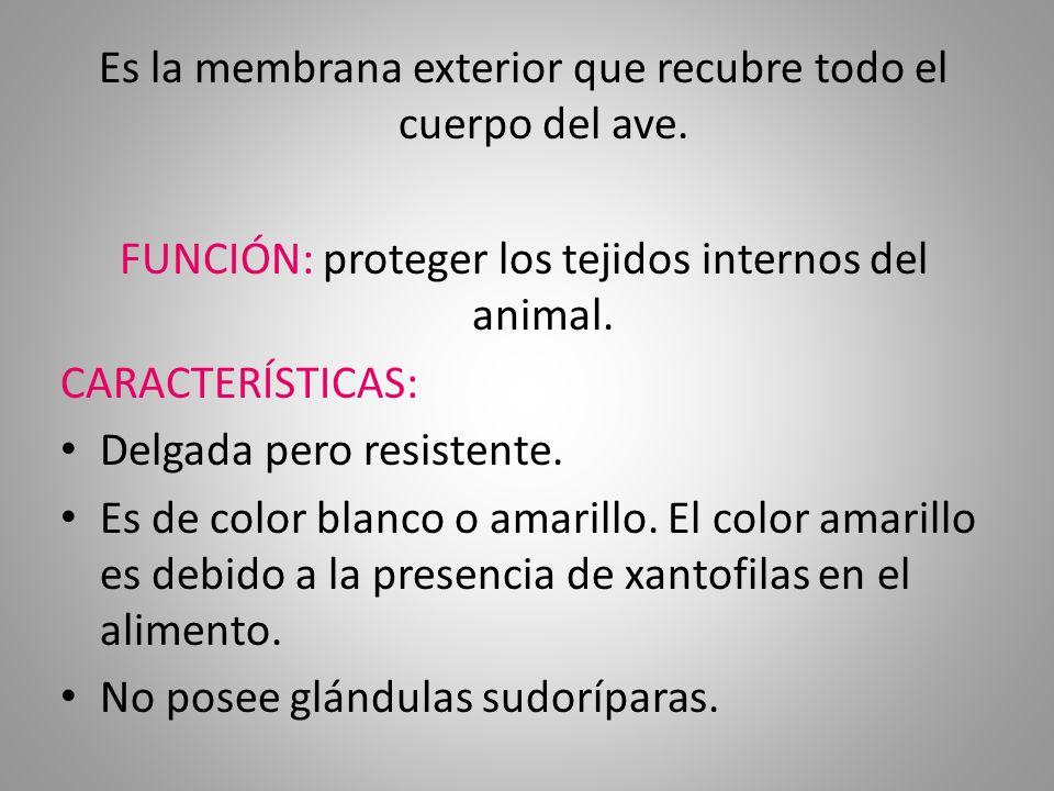 MÁS CARACTERÍSTICAS… Posee 2 glándulas sebáceas, la auricular y la uropígea.