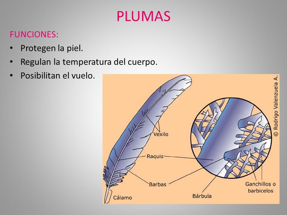 PLUMAS FUNCIONES: Protegen la piel. Regulan la temperatura del cuerpo. Posibilitan el vuelo.