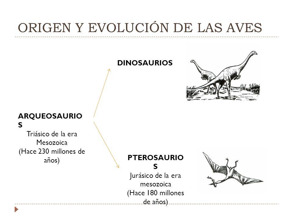 ORIGEN Y EVOLUCIÓN DE LAS AVES ARQUEOSAURIO S Triásico de la era Mesozoica (Hace 230 millones de años) DINOSAURIOS PTEROSAURIO S Jurásico de la era mesozoica (Hace 180 millones de años)