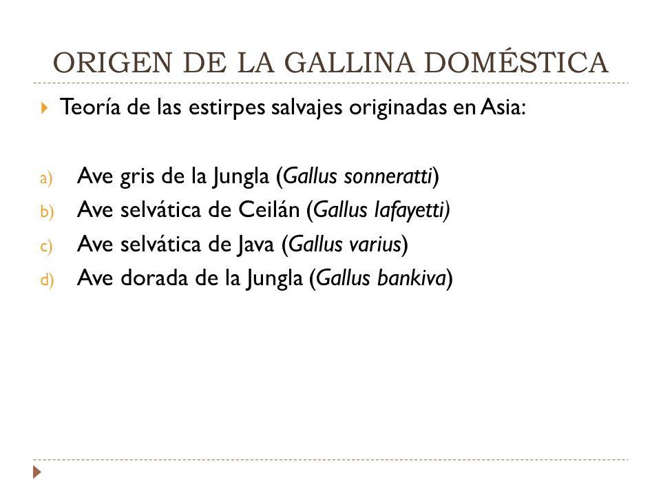 ORIGEN DE LA GALLINA DOMÉSTICA Teoría de las estirpes salvajes originadas en Asia: a) Ave gris de la Jungla (Gallus sonneratti) b) Ave selvática de Ceilán (Gallus lafayetti) c) Ave selvática de Java (Gallus varius) d) Ave dorada de la Jungla (Gallus bankiva)