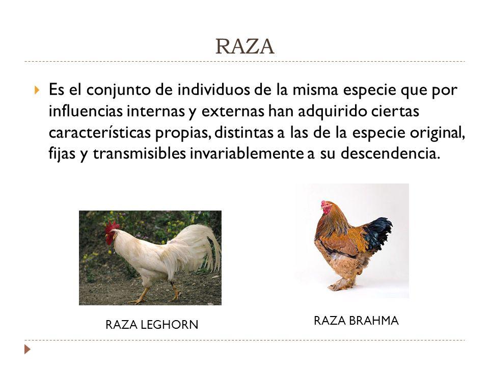 RAZA Es el conjunto de individuos de la misma especie que por influencias internas y externas han adquirido ciertas características propias, distintas a las de la especie original, fijas y transmisibles invariablemente a su descendencia.