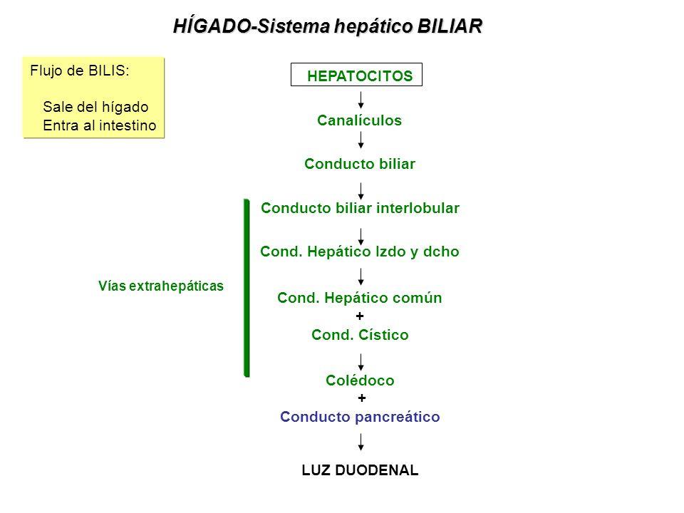 HÍGADO-Sistema hepático BILIAR HEPATOCITOS Canalículos Conducto biliar Conducto biliar interlobular Cond.