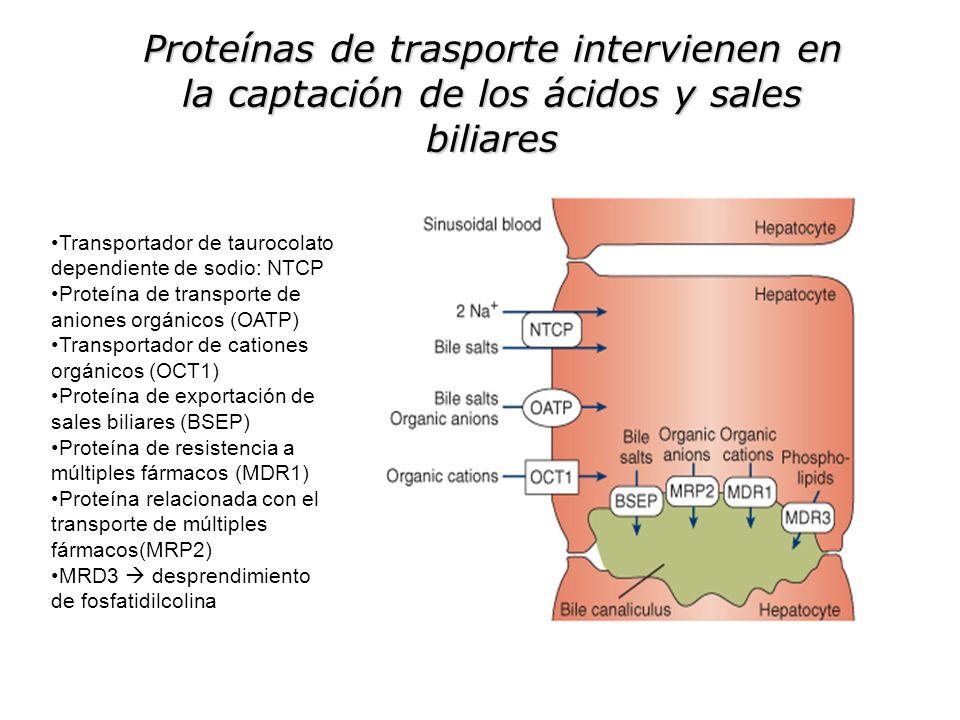 Proteínas de trasporte intervienen en la captación de los ácidos y sales biliares Transportador de taurocolato dependiente de sodio: NTCP Proteína de transporte de aniones orgánicos (OATP) Transportador de cationes orgánicos (OCT1) Proteína de exportación de sales biliares (BSEP) Proteína de resistencia a múltiples fármacos (MDR1) Proteína relacionada con el transporte de múltiples fármacos(MRP2) MRD3 desprendimiento de fosfatidilcolina