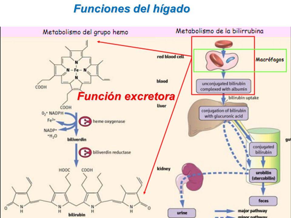 Funciones del hígado Función excretora