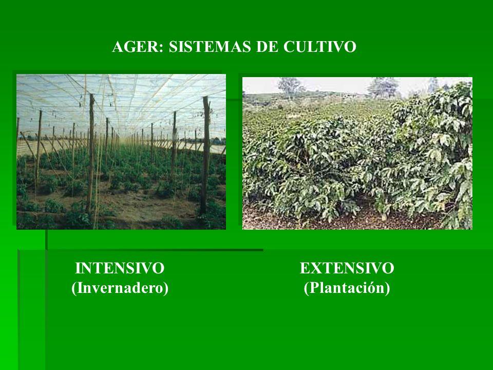 INTENSIVO (Invernadero) EXTENSIVO (Plantación)