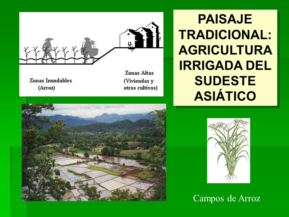 PAISAJE TRADICIONAL: AGRICULTURA IRRIGADA DEL SUDESTE ASIÁTICO Campos de Arroz