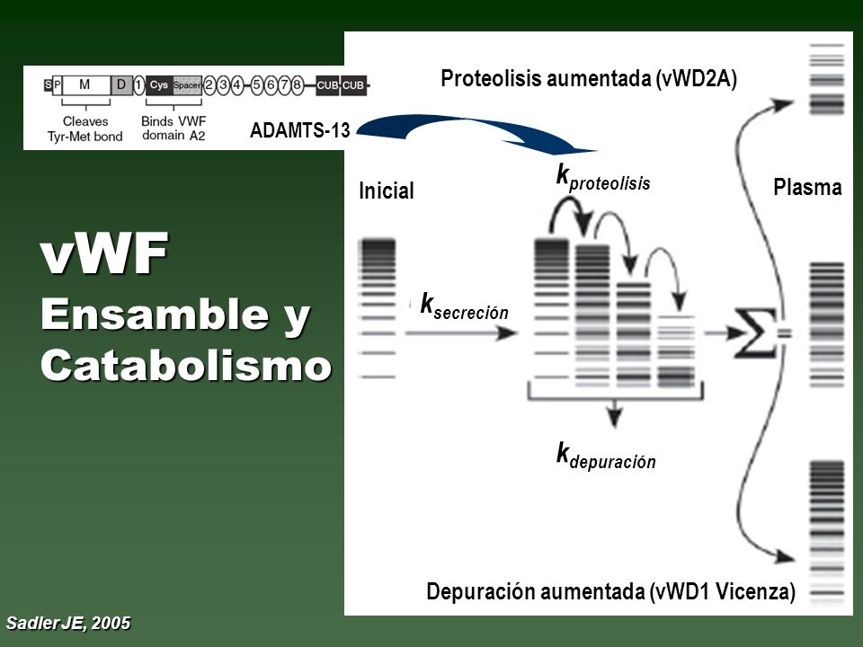 2A función plaquetaria Multímeros APM Multímeros APM vWD-Tipo 2 Clasificación Revisada Sadler E, 1994 2B afinidad VWF-GPIb-IX 2M función plaquetaria c/Multímeros APM 2N afinidad VWF-FVIII* * símil Hemofilia A, autosómica
