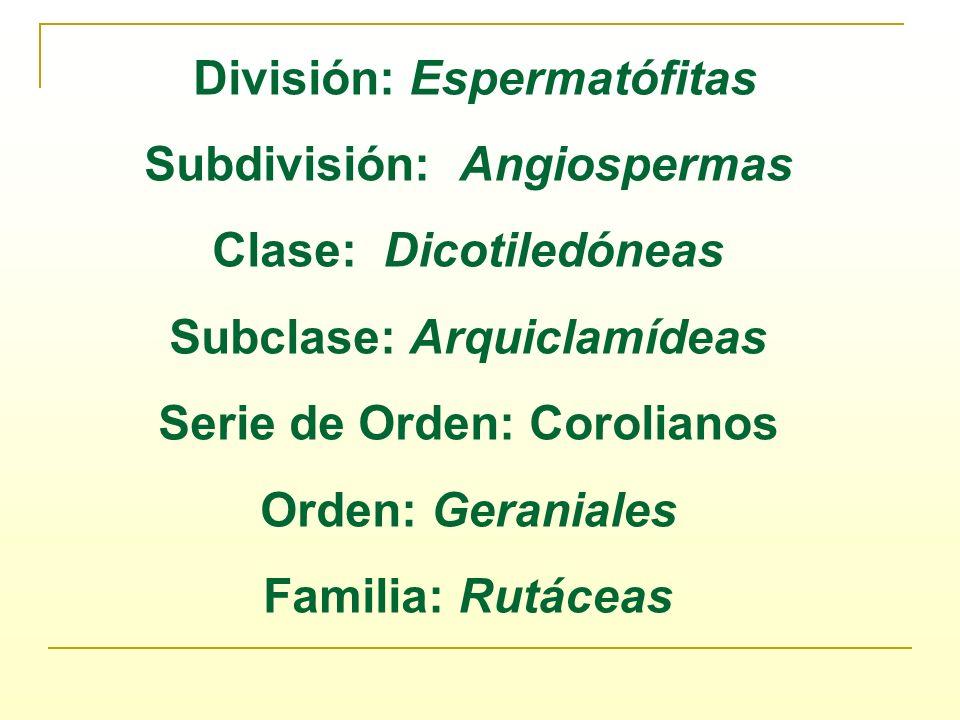 División: Espermatófitas Subdivisión: Angiospermas Clase: Dicotiledóneas Subclase: Arquiclamídeas Serie de Orden: Corolianos Orden: Geraniales Familia