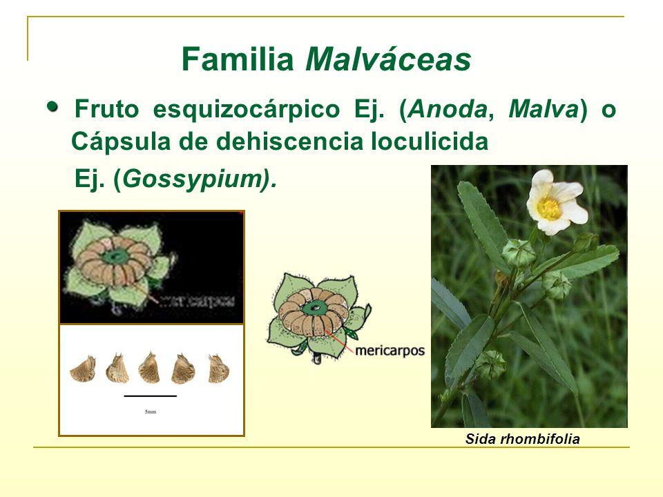 Fruto esquizocárpico Ej. (Anoda, Malva) o Cápsula de dehiscencia loculicida Ej. (Gossypium). Familia Malváceas Sida rhombifolia