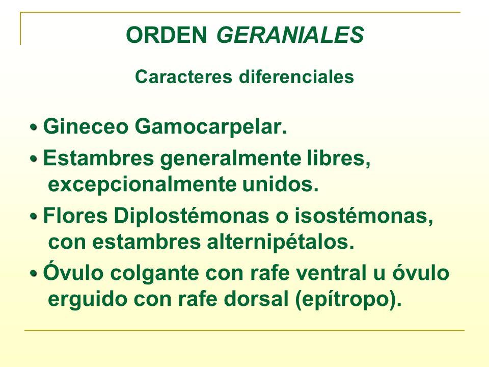 ORDEN GERANIALES Caracteres diferenciales Gineceo Gamocarpelar. Estambres generalmente libres, excepcionalmente unidos. Flores Diplostémonas o isostém