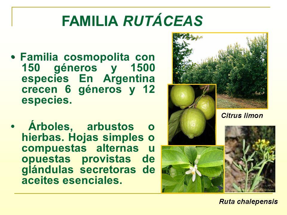 FAMILIA RUTÁCEAS Familia cosmopolita con 150 géneros y 1500 especies En Argentina crecen 6 géneros y 12 especies. Árboles, arbustos o hierbas. Hojas s