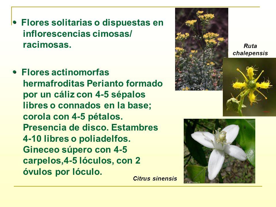 Flores solitarias o dispuestas en inflorescencias cimosas/ racimosas. Flores actinomorfas hermafroditas Perianto formado por un cáliz con 4-5 sépalos
