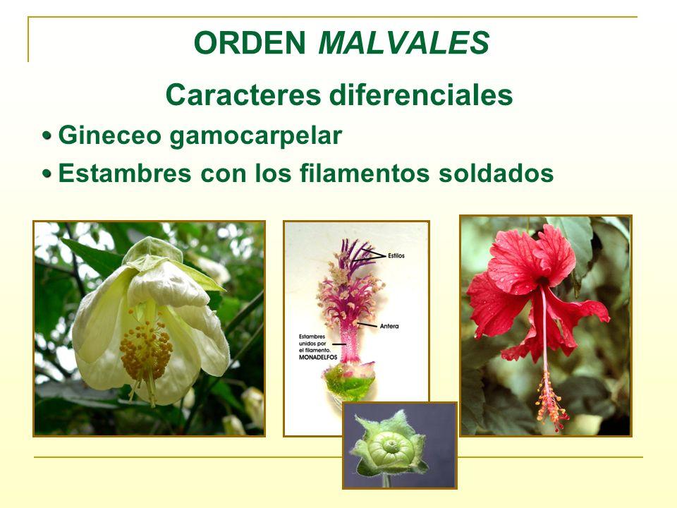 Familia Malváceas Familia con unos 82 géneros y alrededor de 1500 especies de distribución cosmopolita con una mayor diversidad en regiones tropicales y subtropicales.