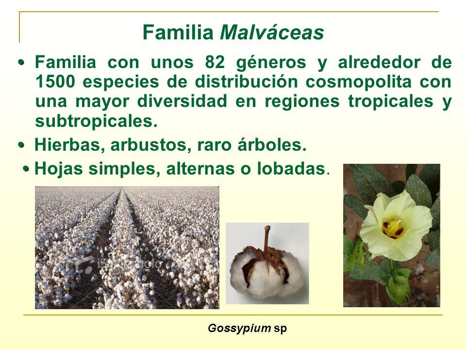 Familia Malváceas Familia con unos 82 géneros y alrededor de 1500 especies de distribución cosmopolita con una mayor diversidad en regiones tropicales