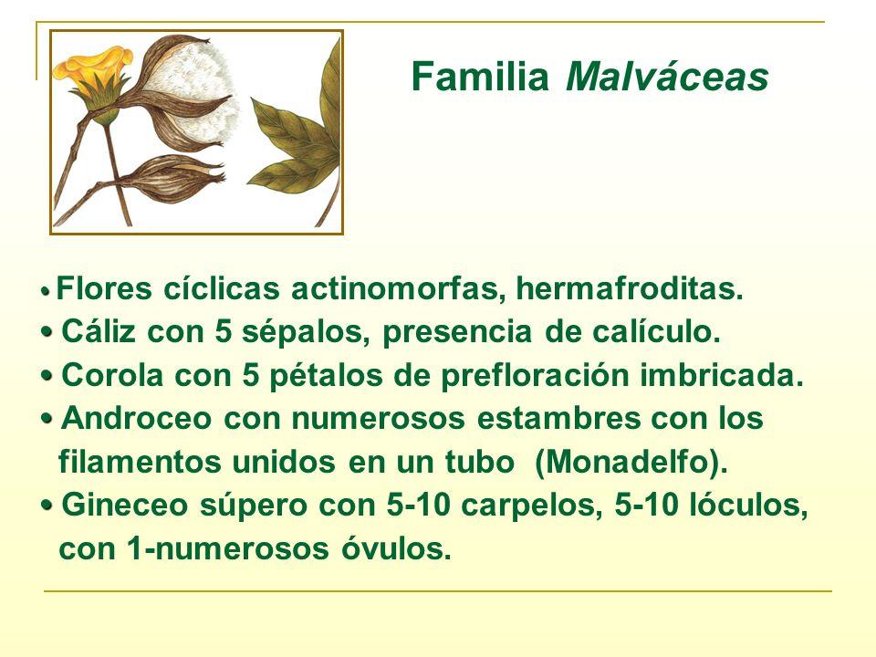 Familia Malváceas Flores cíclicas actinomorfas, hermafroditas. Cáliz con 5 sépalos, presencia de calículo. Corola con 5 pétalos de prefloración imbric