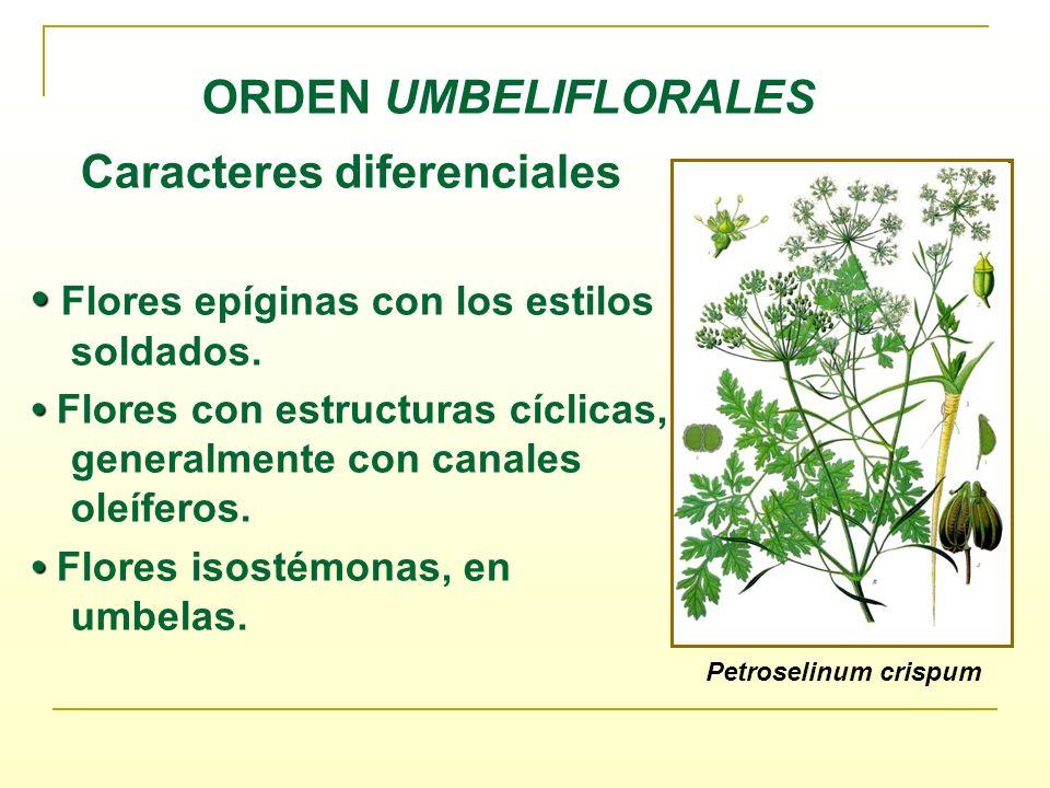 ORDEN UMBELIFLORALES Caracteres diferenciales Flores epíginas con los estilos soldados. Flores con estructuras cíclicas, generalmente con canales oleí
