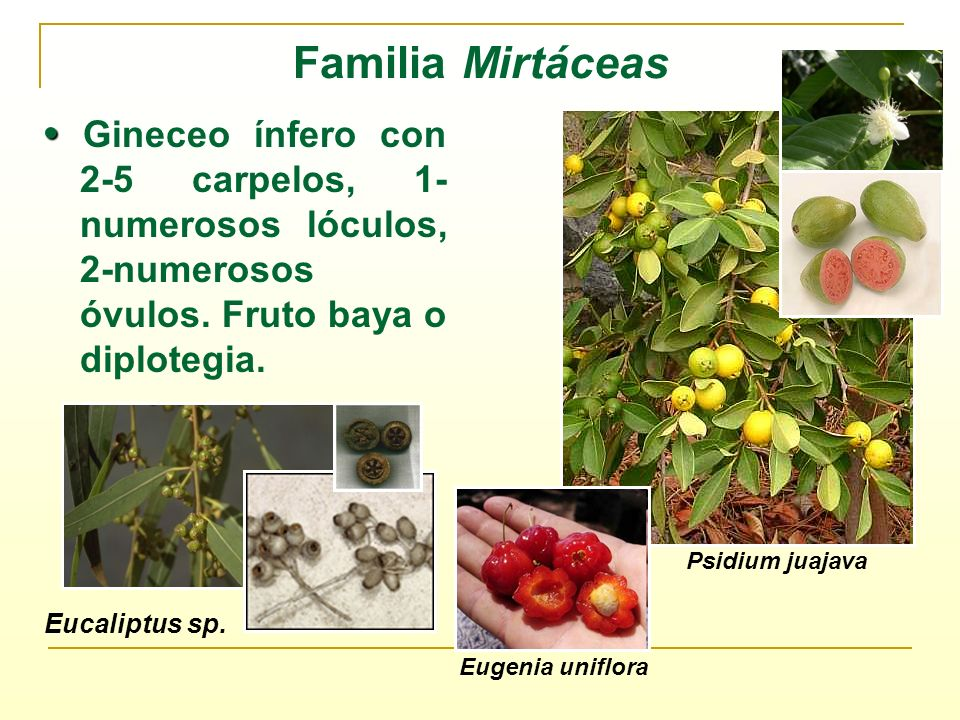 Familia Mirtáceas Gineceo ínfero con 2-5 carpelos, 1- numerosos lóculos, 2-numerosos óvulos. Fruto baya o diplotegia. Psidium juajava Eucaliptus sp. E