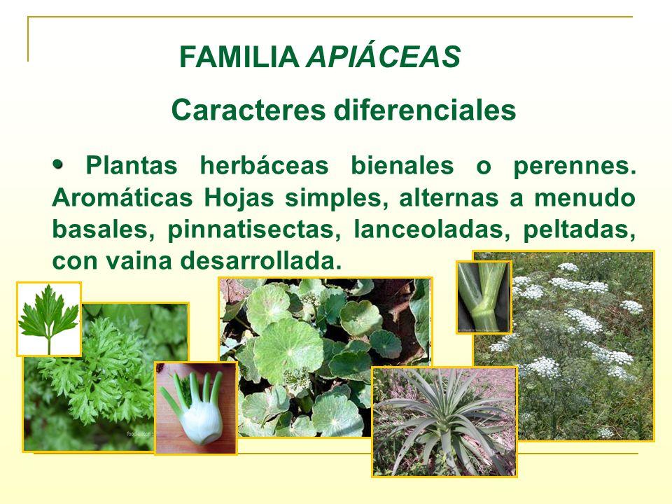 Caracteres diferenciales Plantas herbáceas bienales o perennes. Aromáticas Hojas simples, alternas a menudo basales, pinnatisectas, lanceoladas, pelta