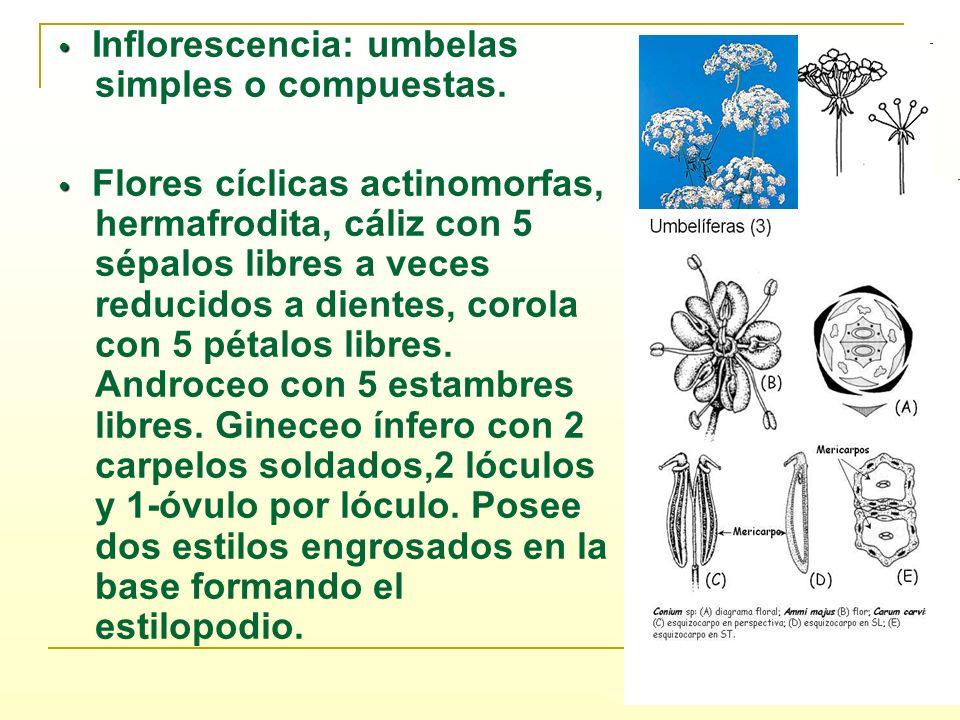 Inflorescencia: umbelas simples o compuestas. Flores cíclicas actinomorfas, hermafrodita, cáliz con 5 sépalos libres a veces reducidos a dientes, coro