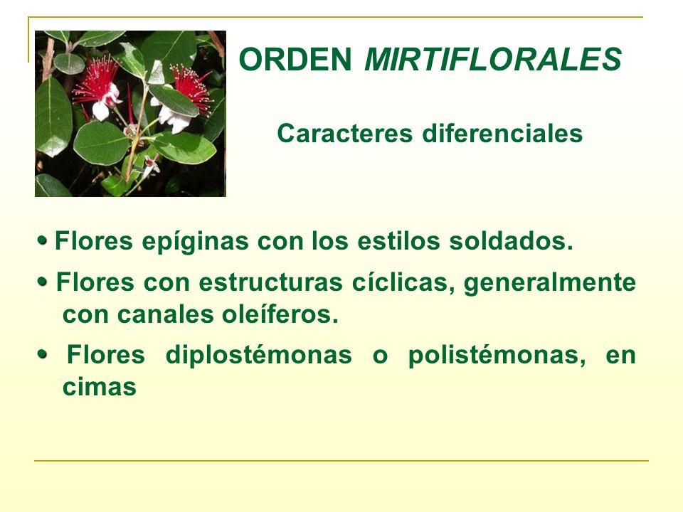 ORDEN MIRTIFLORALES Caracteres diferenciales Flores epíginas con los estilos soldados. Flores con estructuras cíclicas, generalmente con canales oleíf