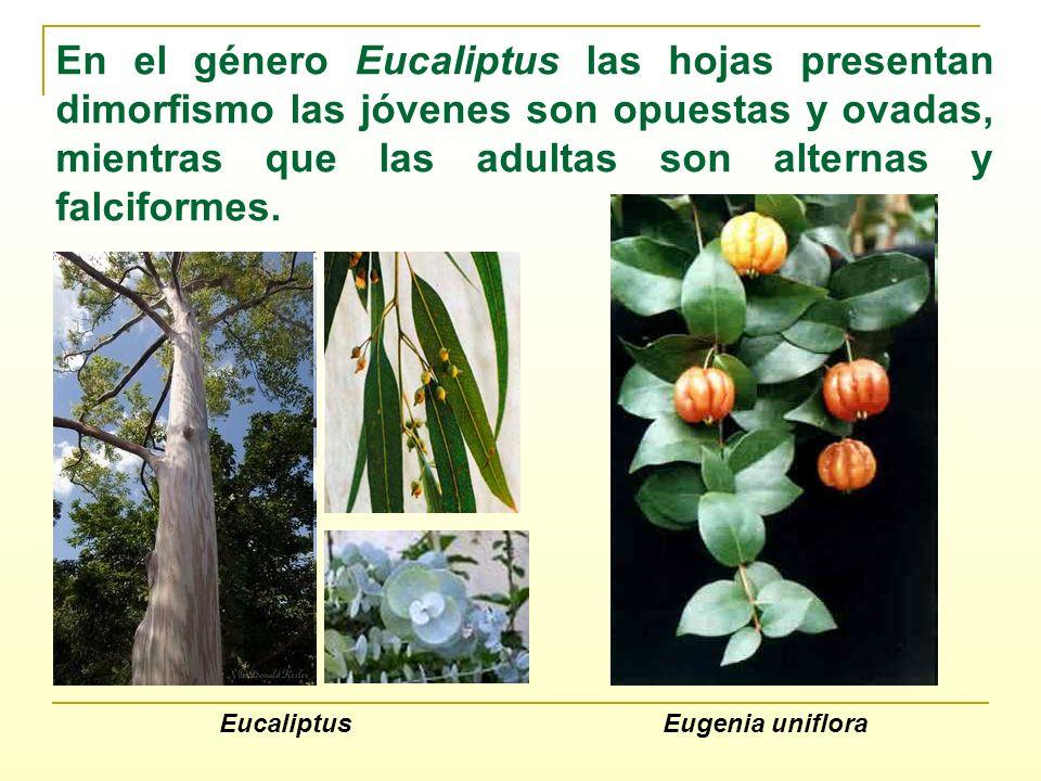 Eugenia unifloraEucaliptus En el género Eucaliptus las hojas presentan dimorfismo las jóvenes son opuestas y ovadas, mientras que las adultas son alte