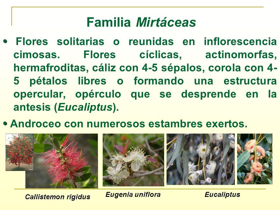 Familia Mirtáceas Flores solitarias o reunidas en inflorescencia cimosas. Flores cíclicas, actinomorfas, hermafroditas, cáliz con 4-5 sépalos, corola