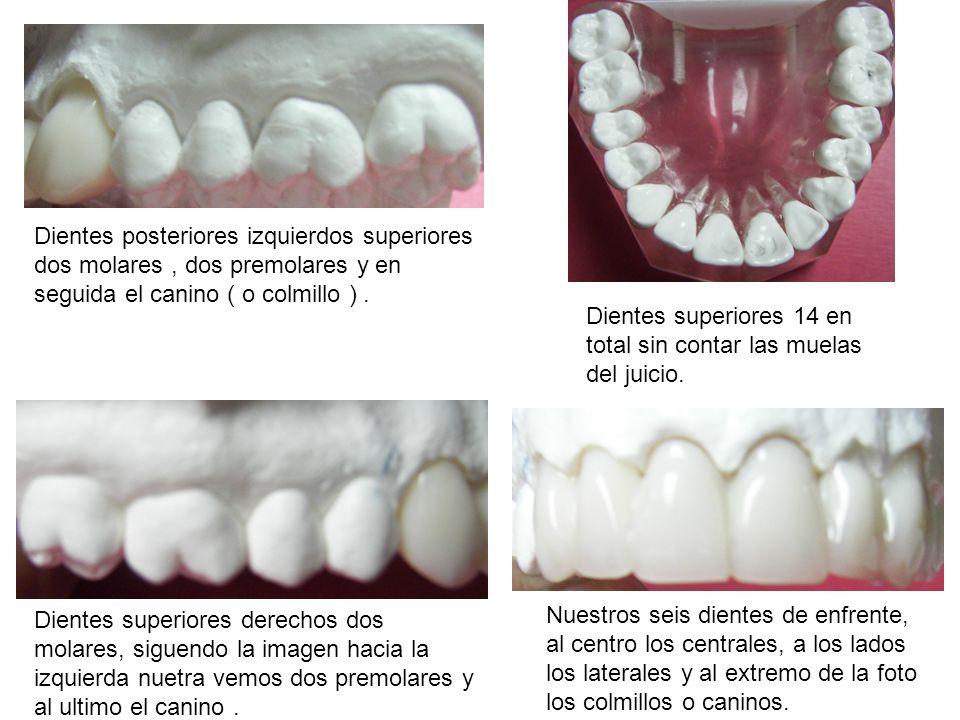 Dientes posteriores izquierdos superiores dos molares, dos premolares y en seguida el canino ( o colmillo ). Dientes superiores 14 en total sin contar
