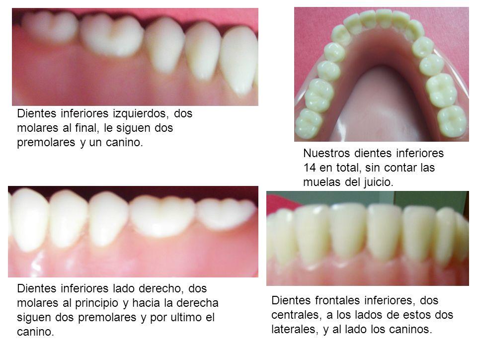 Dientes inferiores izquierdos, dos molares al final, le siguen dos premolares y un canino. Dientes inferiores lado derecho, dos molares al principio y