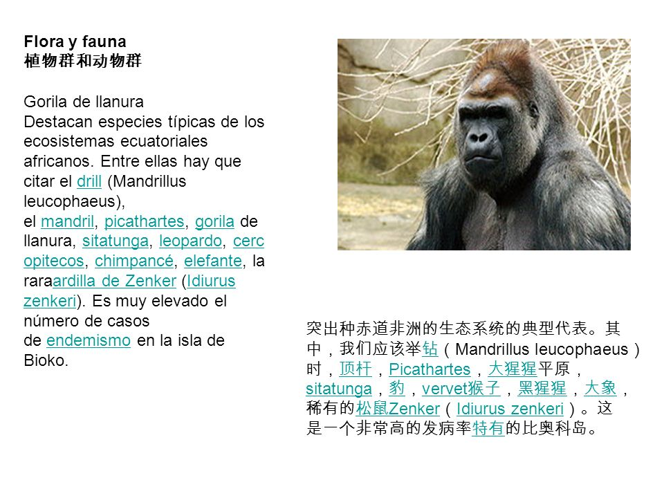 Flora y fauna Gorila de llanura Destacan especies típicas de los ecosistemas ecuatoriales africanos. Entre ellas hay que citar el drill (Mandrillus le