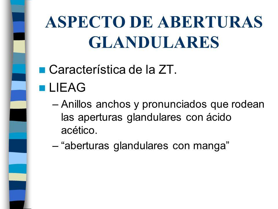 ASPECTO DE ABERTURAS GLANDULARES Característica de la ZT. LIEAG –Anillos anchos y pronunciados que rodean las aperturas glandulares con ácido acético.