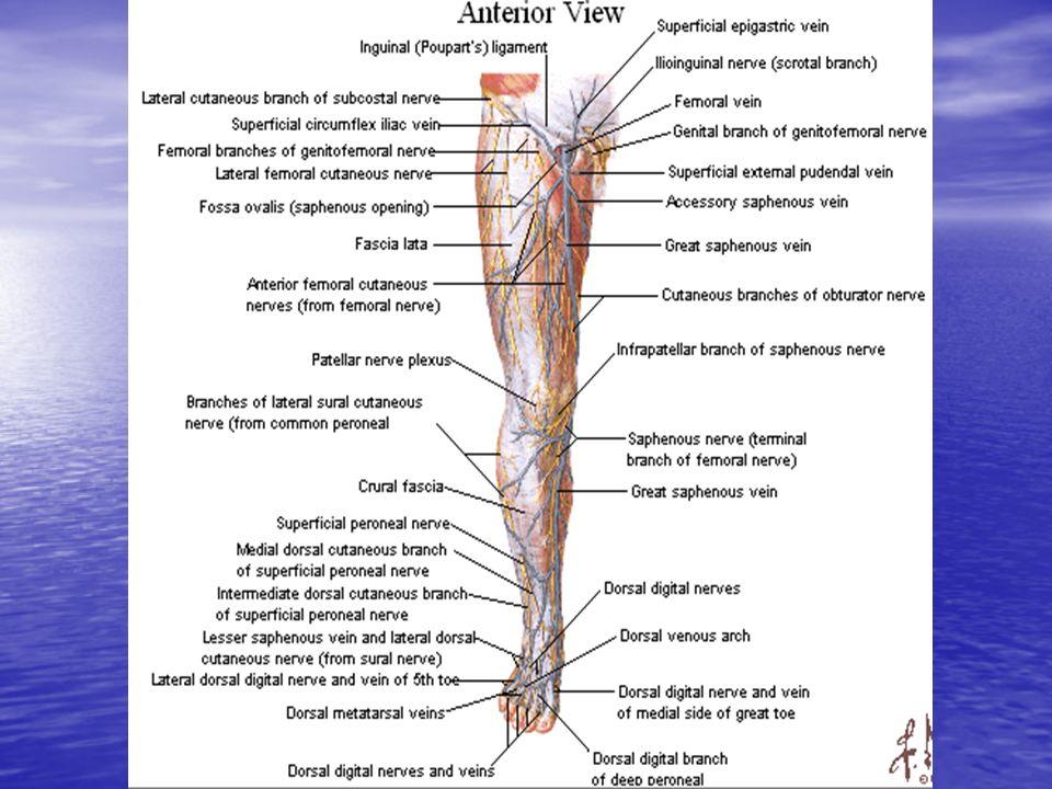 INSUFICIENCIA VENOSA En general el fenomeno de varicosidad es causado por la incontinencia valvular, que da lugar a reflujo venoso.