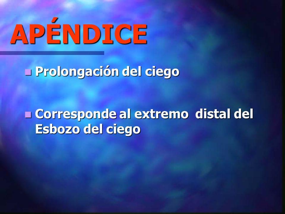 APÉNDICE Prolongación del ciego Prolongación del ciego Corresponde al extremo distal del Esbozo del ciego Corresponde al extremo distal del Esbozo del