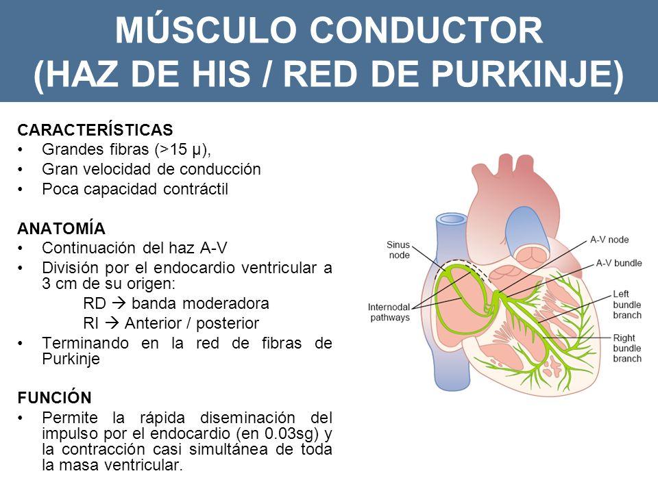 MÚSCULO CONDUCTOR (HAZ DE HIS / RED DE PURKINJE) CARACTERÍSTICAS Grandes fibras (>15 µ), Gran velocidad de conducción Poca capacidad contráctil ANATOMÍA Continuación del haz A-V División por el endocardio ventricular a 3 cm de su origen: RD banda moderadora RI Anterior / posterior Terminando en la red de fibras de Purkinje FUNCIÓN Permite la rápida diseminación del impulso por el endocardio (en 0.03sg) y la contracción casi simultánea de toda la masa ventricular.