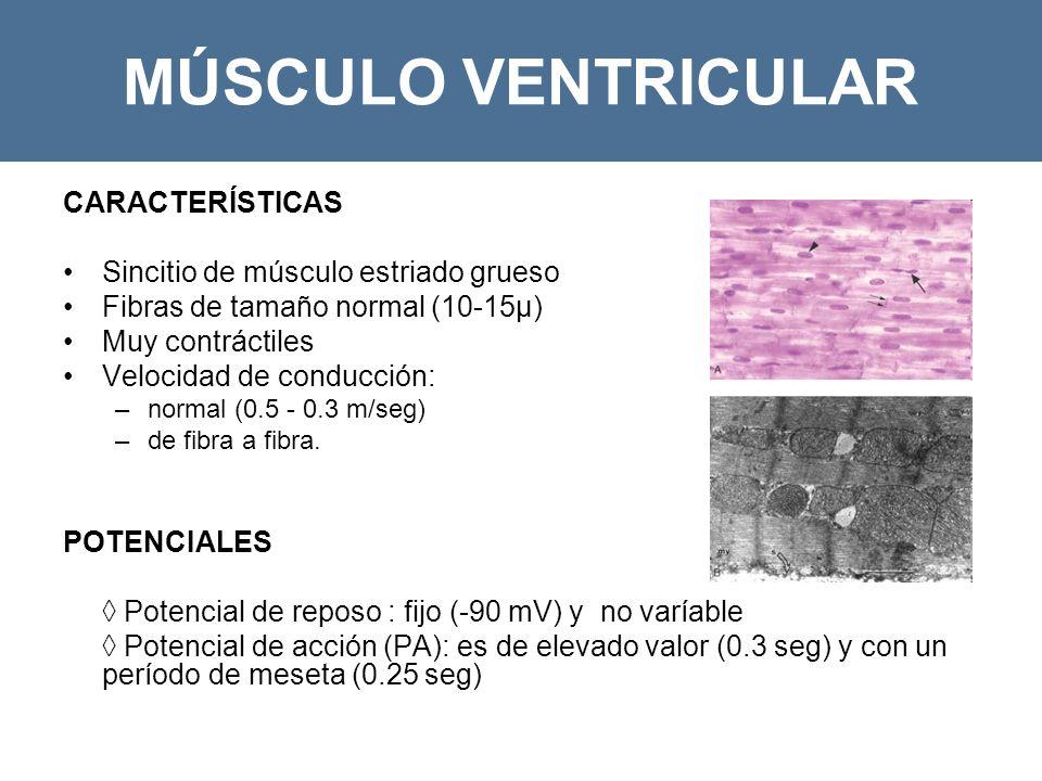 MÚSCULO VENTRICULAR CARACTERÍSTICAS Sincitio de músculo estriado grueso Fibras de tamaño normal (10-15µ) Muy contráctiles Velocidad de conducción: –normal (0.5 - 0.3 m/seg) –de fibra a fibra.
