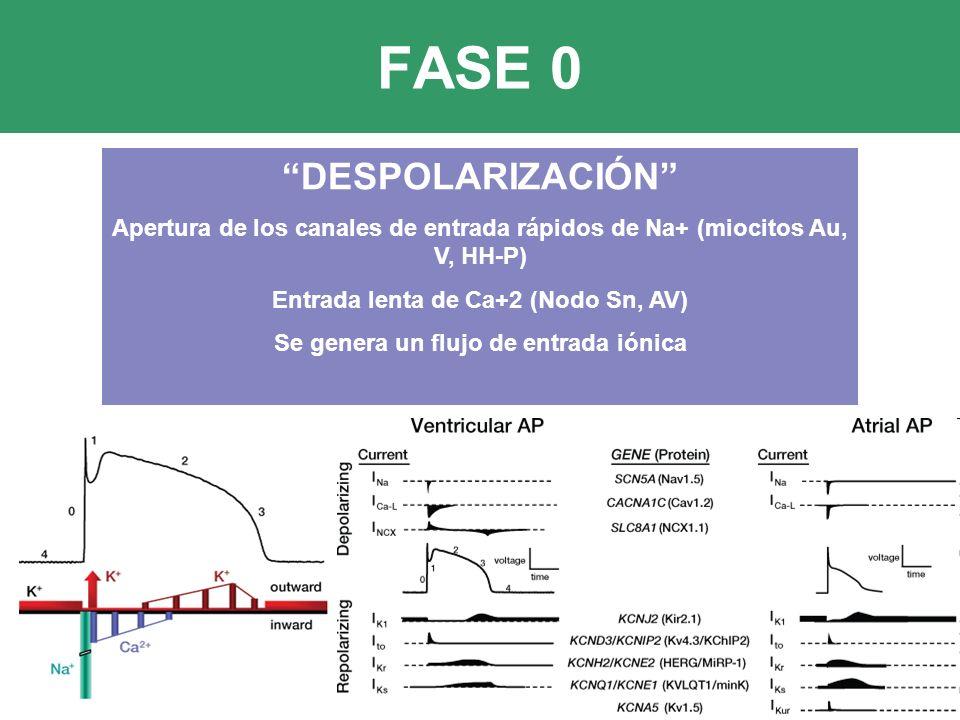 FASE 0 DESPOLARIZACIÓN Apertura de los canales de entrada rápidos de Na+ (miocitos Au, V, HH-P) Entrada lenta de Ca+2 (Nodo Sn, AV) Se genera un flujo de entrada iónica