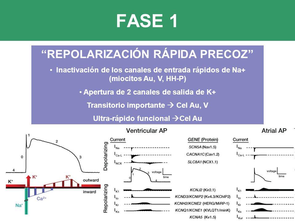 FASE 1 REPOLARIZACIÓN RÁPIDA PRECOZ Inactivación de los canales de entrada rápidos de Na+ (miocitos Au, V, HH-P) Apertura de 2 canales de salida de K+ Transitorio importante Cel Au, V Ultra-rápido funcional Cel Au