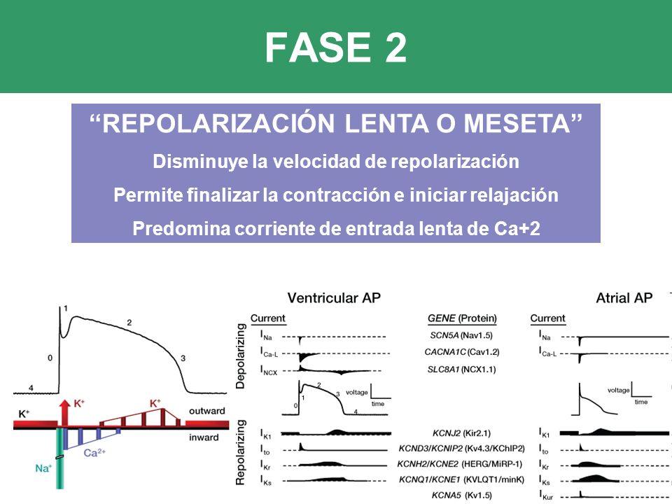 FASE 2 REPOLARIZACIÓN LENTA O MESETA Disminuye la velocidad de repolarización Permite finalizar la contracción e iniciar relajación Predomina corriente de entrada lenta de Ca+2