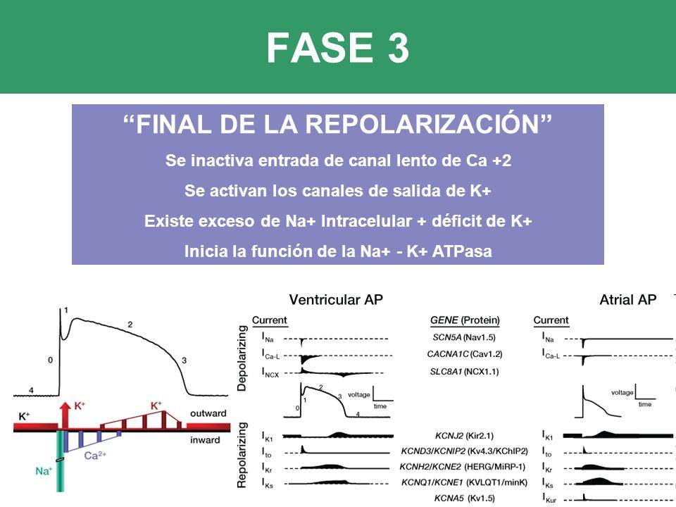 FASE 3 FINAL DE LA REPOLARIZACIÓN Se inactiva entrada de canal lento de Ca +2 Se activan los canales de salida de K+ Existe exceso de Na+ Intracelular + déficit de K+ Inicia la función de la Na+ - K+ ATPasa