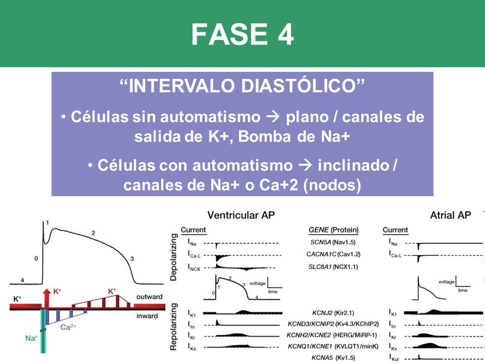 FASE 4 INTERVALO DIASTÓLICO Células sin automatismo plano / canales de salida de K+, Bomba de Na+ Células con automatismo inclinado / canales de Na+ o Ca+2 (nodos)