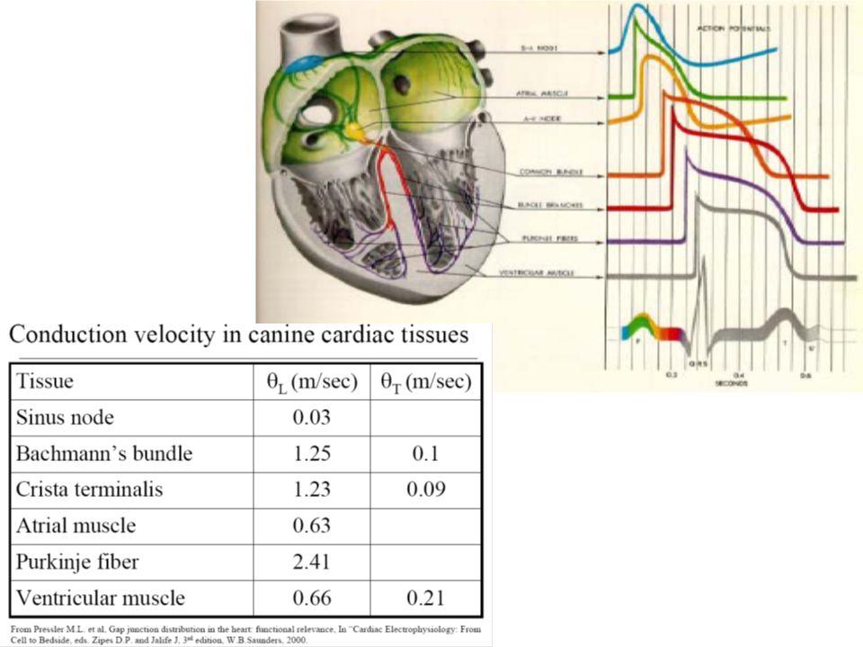 CONDUCCIÓN DEL POTENCIAL His y Purkinje (0.16 sg.): Fibras gruesas y de gran velocidad de conducción (2-4 m/seg), Difusión rápida del potencial por el endocardio (0.03 sg).