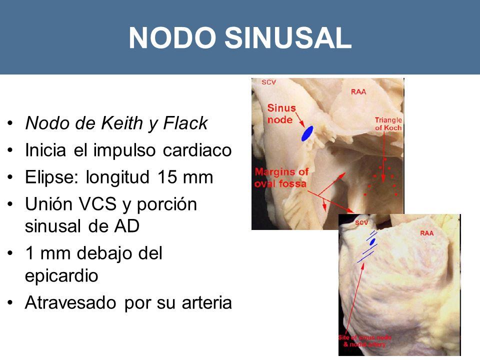 NODO SINUSAL Nodo de Keith y Flack Inicia el impulso cardiaco Elipse: longitud 15 mm Unión VCS y porción sinusal de AD 1 mm debajo del epicardio Atravesado por su arteria ACD ACI