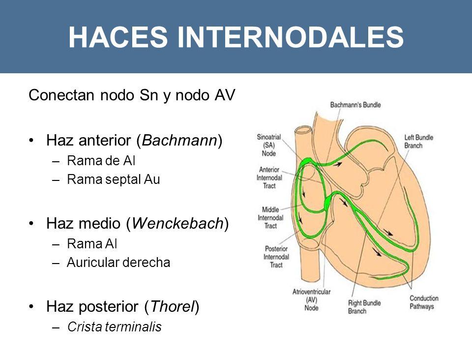 HACES INTERNODALES Conectan nodo Sn y nodo AV Haz anterior (Bachmann) –Rama de AI –Rama septal Au Haz medio (Wenckebach) –Rama AI –Auricular derecha Haz posterior (Thorel) –Crista terminalis