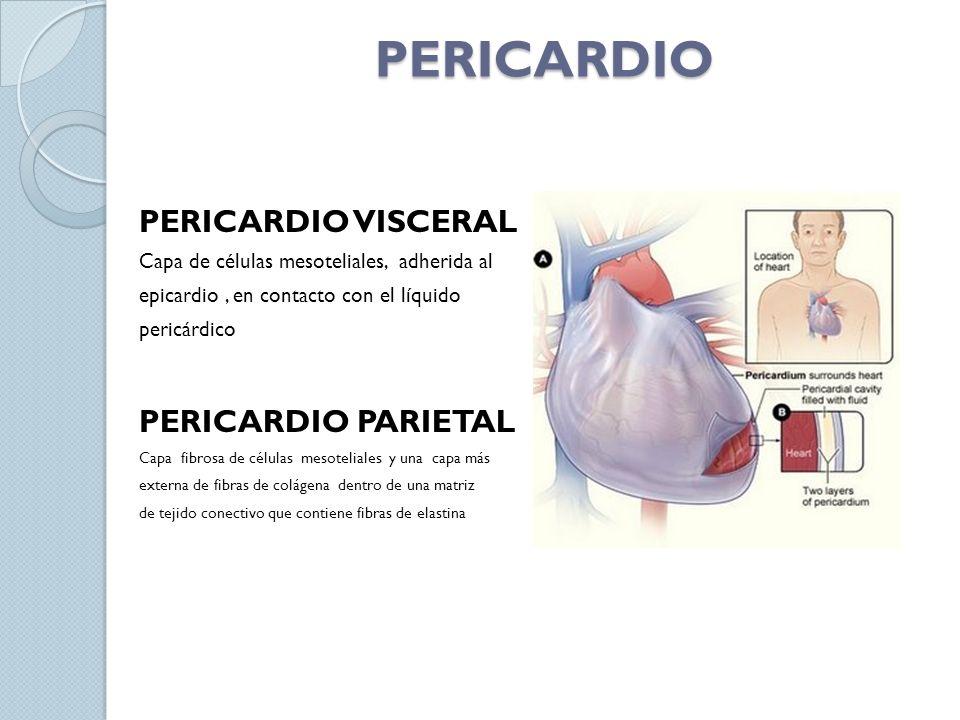 PERICARDIO PERICARDIO VISCERAL Capa de células mesoteliales, adherida al epicardio, en contacto con el líquido pericárdico PERICARDIO PARIETAL Capa fi
