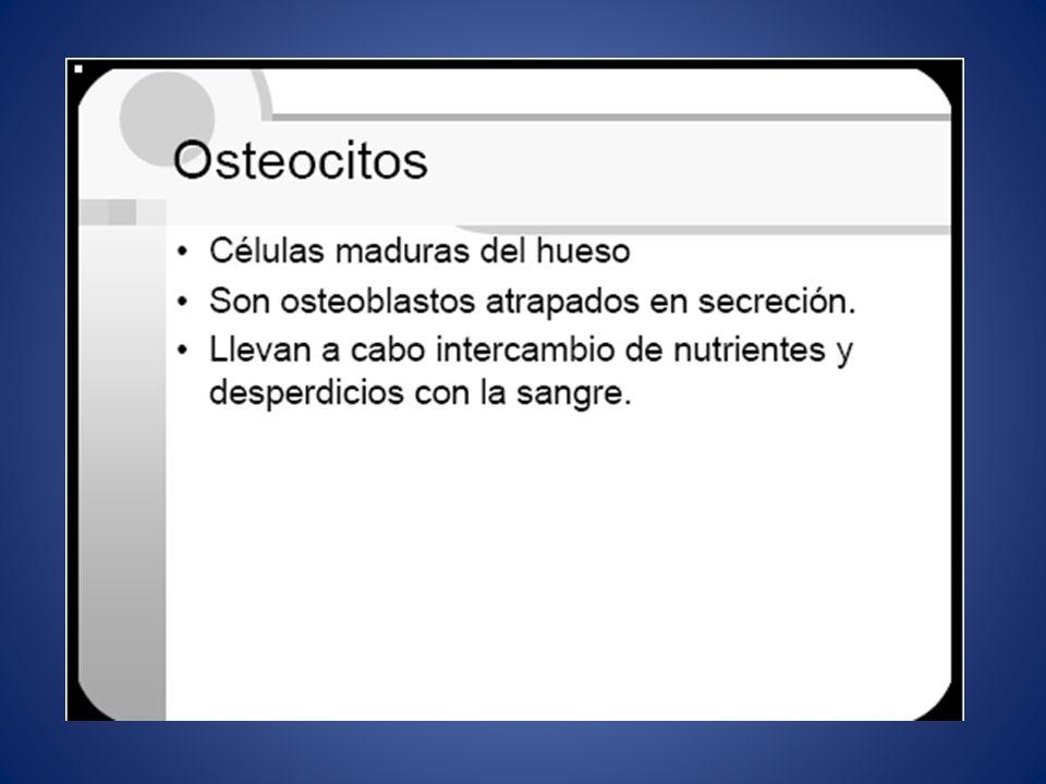 OSTEOCITOS.VERDADERA CELULA OSEA. EMITEN FINAS PROLONGACIONES A LOS CANALICULOS.