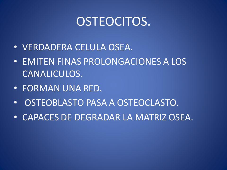OSTEOCLASTO.SON LAS CELULAS QUE DEGRADAN EL HUESO.