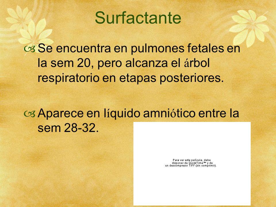 Surfactante Se encuentra en pulmones fetales en la sem 20, pero alcanza el á rbol respiratorio en etapas posteriores. Aparece en l í quido amni ó tico
